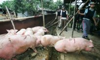 China To Educate Farmers on Pig-Borne Disease