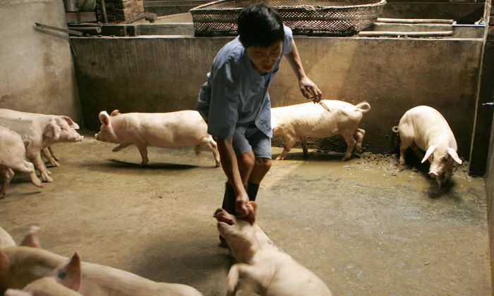 farmer prepares to give one of his pigs a flu jab on a pig farm on the outskirts of Chengdu in China's southwest Sichuan province, 01 August 2005. (Peter Parks/AFP/Getty Images)