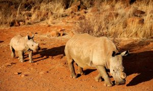 US-China Rhino Horn Smuggling Ring Broken Up