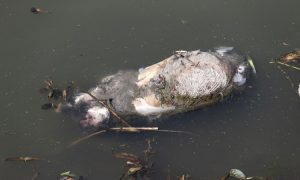 16,000 Pigs Floating Update: 1,000 Ducks Found in Another Chinese River