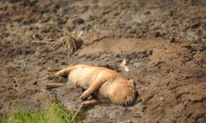 Shanghai's Dead Pigs Built Into the System