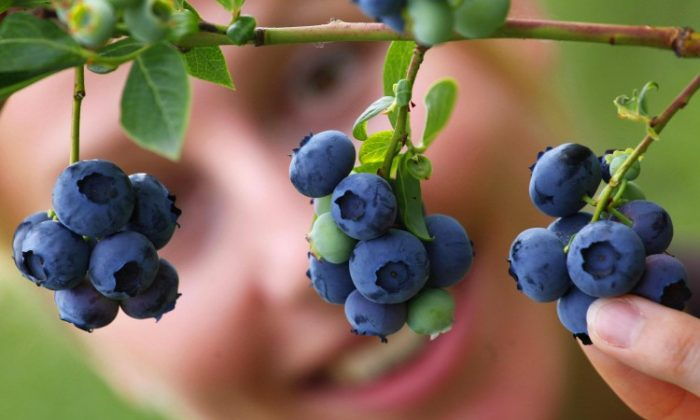 Blueberries are loaded with antioxidants that can help with brain function and your vision. (Michael Urban/AFP/Getty Images)