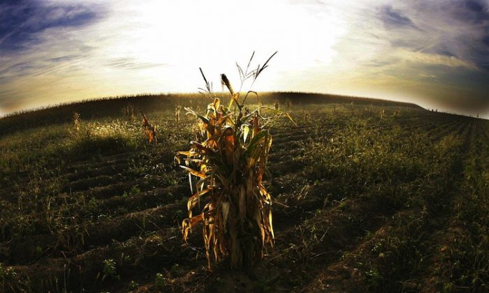 A sheaf of corn remains in a field after a harvest in this file photo. (Olivier Morin/Getty Images)