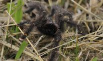 Bat-eating Spiders All Over the World, Except Antarctica