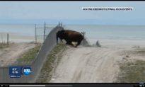 Bison Attack: When Wild Buffalos Attack (+Video)
