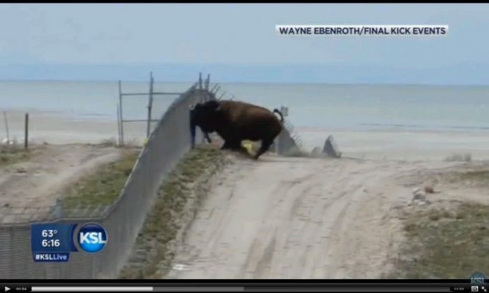 A screenshot of KSL shows the bison slamming the man. He walked away from the attack. (Screenshot via The Epoch Times)