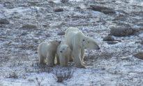 Polar Bears Waiting Longer for Winter Ice