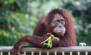 World Orangutan Day Seeks to Bolster Awareness of Endangered Species