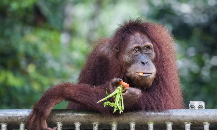In this photograph taken on March 23, 2013 an endangered orangutan is fed at a conservation centre located in the forest in Indonesia. (CHAIDEER MAHYUDDIN/AFP/Getty Images)