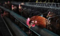 New Bird Flu Takes Hold in East China