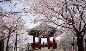 City in Focus: Cherry Blossoms in Seoul (Photos)