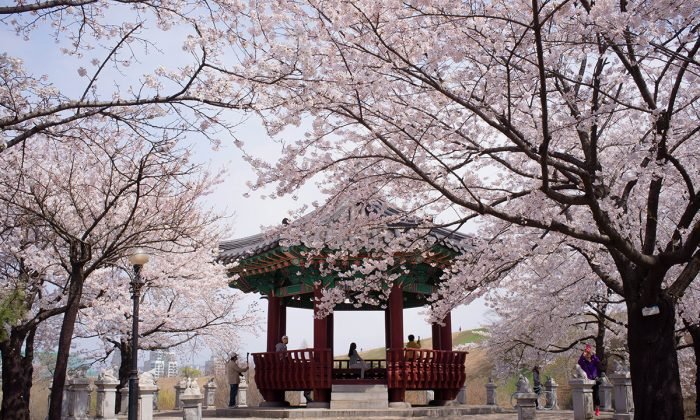 A wooden pagoda at the end of an avenue of blossoming cherry trees in Olympic Park in Seoul. April 17, 2013. (Jarrod Hall/The Epoch Times)