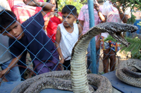 Local villagers in Bansalan town in Davao Del Sur province Southern Philippines react upon seeing a preserved king cobra on March 7, 2010. (STR/AFP/Getty Images)