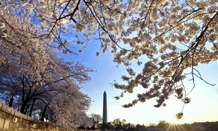 The cherry trees surrounding the Tidal Basin in Washington, D.C., are famous not only for their beauty but also their unpredictability. (Buddy Secor)