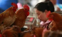 Deadly New Bird Flu Virus in China Possibly Linked to Dead Pigs
