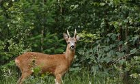 Chinese Idiom: Point to a Deer and Call it a Horse (指鹿為馬)