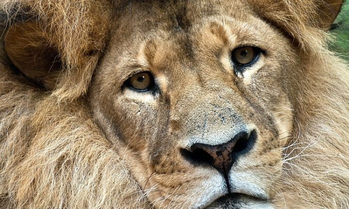 The world's African lion population has dropped dramatically over the past 30 years. The animal's latest threat is American gastronomes. (Manan Vatsyayana/AFP/Getty Images)