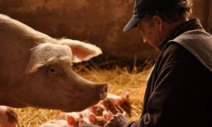Pig Farmer's Success Challenges Conventional Wisdom