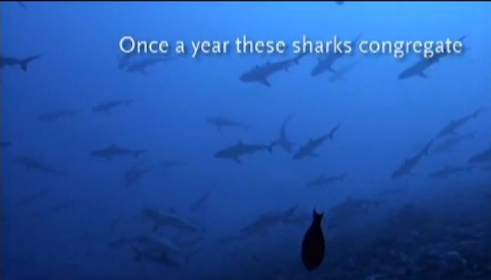 """Screen grab of """"Mating Grey Reef Sharks"""" by Jean-Micheal Cousteau Ocean Futures Society"""