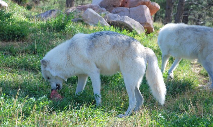 Wolves live 7-10 years in the wild. They are social animals and discipline is enforced in the pack by the alpha male and alpha female. Only alphas are allowed to breed. (Myriam Moran copyright 2013)