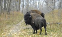 Farmer in Kenosha County, Wisconsin Says 18 Bison Escaped