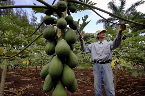 A farmer tends to genetically enhanced papayas in Hawaii in this file photo. (blogs.america.gov)