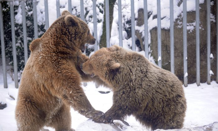 Brown bears play in their snow-covered enclosure at the Budapest Zoo and Botanic garden of the Varosliget public park in the Hungarian capital on March 27, 2013. (ATTILA KISBENEDEK/AFP/Getty Images)