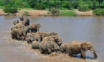 Elephant Tramples Poacher in Zimbabwe Game Reserve