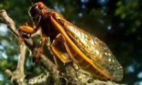 17-Year Cicadas Emerge After 17-Year Slumber (+Video)
