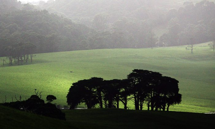 Sun shines over green pasture land at a cattle farm May 19, 2008 in Smithton, Australia. Farmers are now being encouraged to plant certain types of Eucalyptus species called mallee, which store carbon in soils. (Ian Waldie/Getty Images)