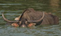 New Home for Endangered Asiatic Wild Buffalo