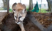 Mountain Lion on California High School Campus Prompts Lockdown