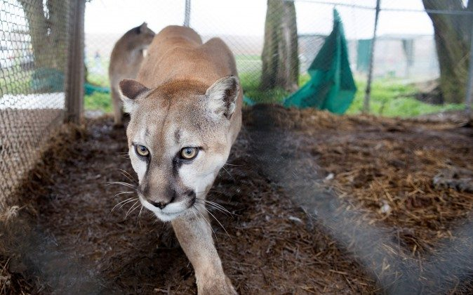 In this May 5, 2013, photo provided by the Humane Society of the United States a mountain lion is seen in it chain-link enclosure before being seized from a menagerie of wild cats in Atchison, Kansas. (AP Photo/HSUS, Kathy Milani)