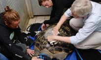 Green Sea Turtle Gets Custom Belt to Help Swim
