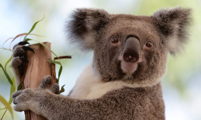 Koala sits on a branch at a zoo in Sydney, Australia, April 24, 2013. Researchers have discovered important information on the koala immune system. (GREG WOOD/AFP/Getty Images)
