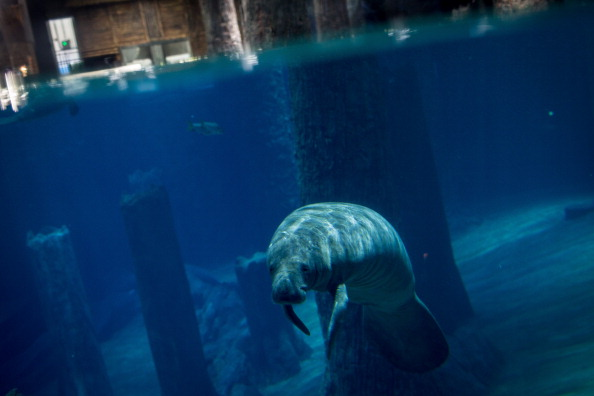 A Manatee is seen at the Amazon Flooded Forest exhibit during a media tour ahead of the opening of River Safari at the Singapore Zoo on March 25, 2013 in Singapore.(Photo by Chris McGrath/Getty Images)