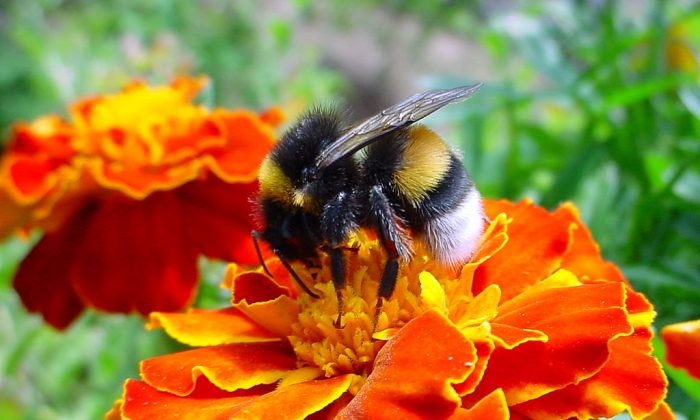 A bumblebee collects pollen from a marigold flower in this file photo. (Christian Bauer/Wikimedia Commons)