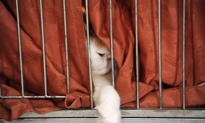 A cat's paw hangs out from its cage on August 7, 2010. (SAMUEL KUBANI/AFP/Getty Images)