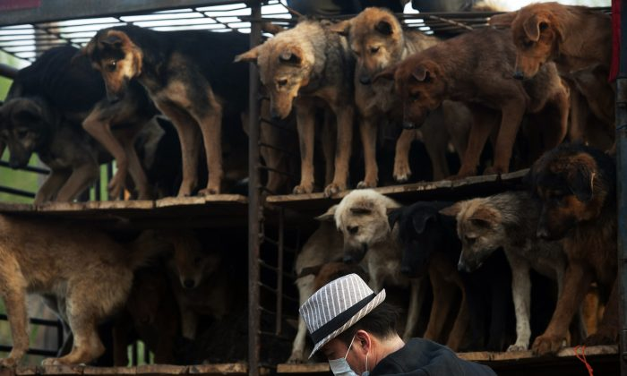 Chinese animal lovers prepare to release rescued dogs at the China Animal Protection Association, after a convoy of trucks carrying some 500 dogs to be sold as meat were stopped along a highway in Beijing in April 2011.(STR/AFP/Getty Images)
