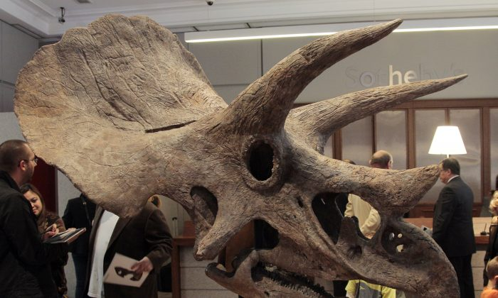 A photo taken on October 13, 2011 at Sotheby's auction house in Paris shows a Triceratops dinosaur skull. (JACQUES DEMARTHON/AFP/Getty Images)