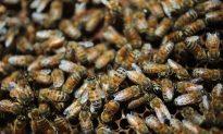 Bee Swarm Attacks Man, Kills Dog in Houston
