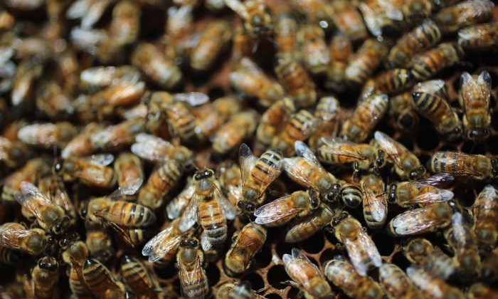 Honey bees are seen at the J & P Apiary and Gentzel's Bees, Honey and Pollination Company on April 10, 2013 in Homestead, Florida. (Joe Raedle/Getty Images)