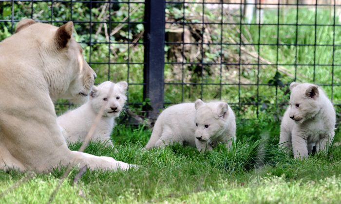 Three white lion cubs play in their pen next to their mother Sweleka (L) at the Pont-Scroff's zoo in Pont-Scorff, western France, on April 18, 2013. (FRED TANNEAU/AFP/Getty Images)