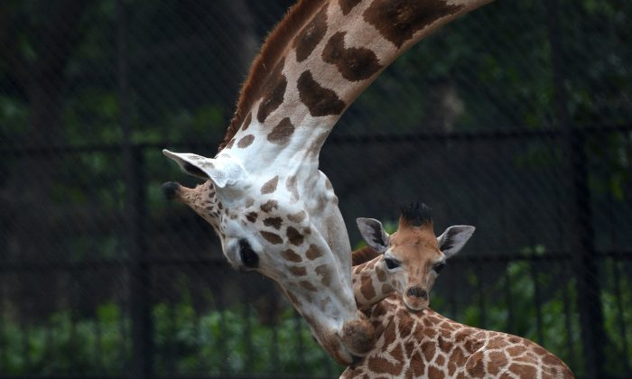 A mother giraffe licks her 20-day old baby calf at the Alipore Zoological Gardens in Kolkata on June 10, 2013. With the birth of this newborn, the number of African giraffes has increased to nine and the garden authorities are taking special care of the newborn and its mother.  (Dibyangshu Sarkar/AFP/Getty Images)