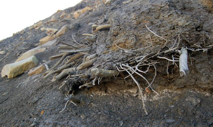 A file photo of an outcropping of mummified tree remains on Ellesmere Island in Canada. Moss exposed by melting glacial ice in central Ellesmere Island returned to life in a study first published April 26, 2013. (AP Photo/Ohio State University, Joel Barker)