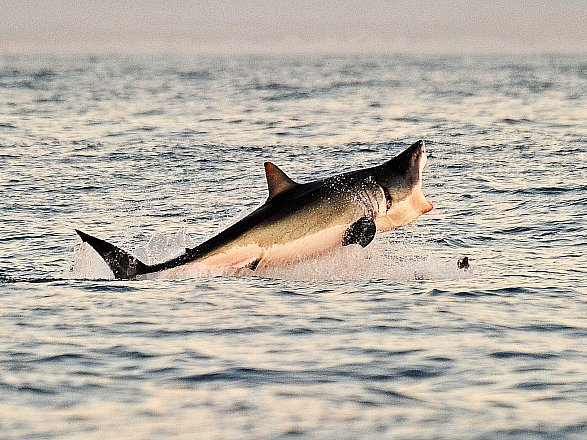 A Great White shark jumps out of the water as it hunts Cape fur seals near False Bay off the coast of South Africa. (Carl De Souza/AFP/Getty Images)
