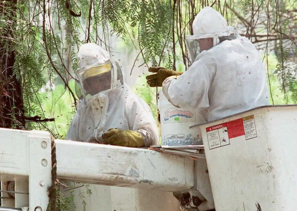 Killer bees are to blame for the death of a Georgia man this week. Pictured above, two municipal workers in Mexico City try to destroy a nest of suspected killer bees in an upper class suburb of the city. (David Hernandez/AFP/Getty Images)