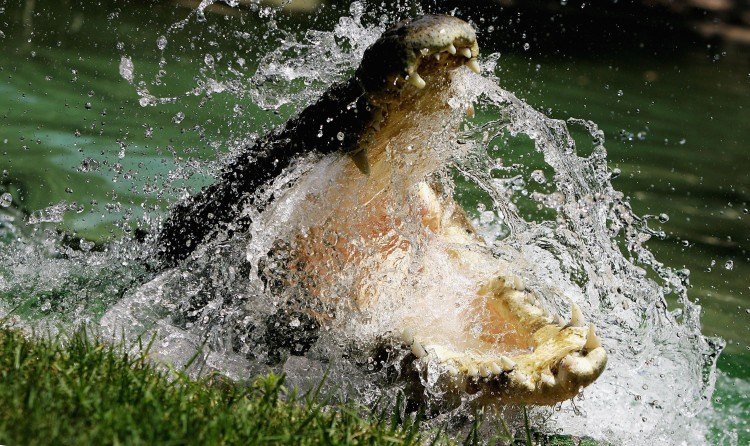 A Saltwater Crocodile at the Australian Reptile Park in Sydney, January 2006. (Ian Waldie/Getty Images)