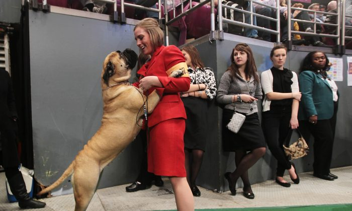 A Bullmastiff is shown at the dog competition at the Westminster Kennel Club Dog Show February 16, 2010 in New York. A 5-year-old boy was reportedly killed by a Bullmastiff in Arkansas this week. (Chris Hondros/Getty Images)