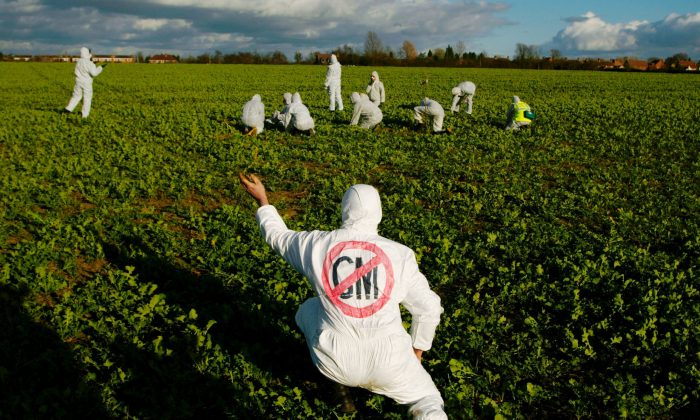 A protester in a field of genetically modified (GM) rapeseed crops in Warwickshire, England, March 9, 2002. The European Union's relatively stringent GM regulations are cast in a different light by research to be presented at the Agricultural and Applied Economics Association's 2013 annual meeting in August 2013. (Sion Touhig/Getty Images)